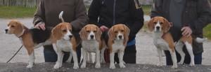 Beagleträff A-kullen 2014